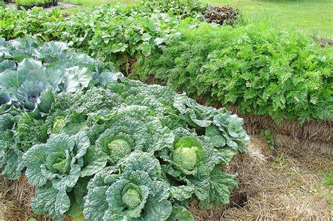 Gardening In Straw Bales by Straw Bale Gardening Gives Gardeners A Start