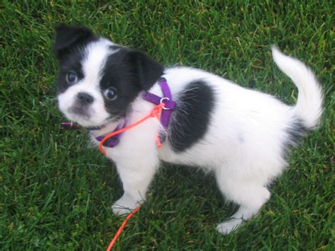 japanese chins japanese chin puppies mr puppy pictures