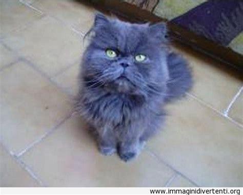 gatti persiani bianchi oltre 25 fantastiche idee su gatto persiano su