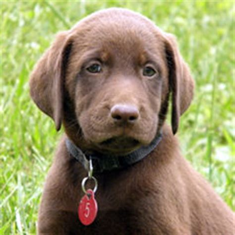 lab puppies for sale in va chocolate lab puppies for sale