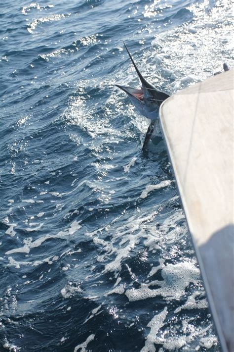 pelican charter boat oregon inlet white marlin oregon inlet nc the hull truth boating