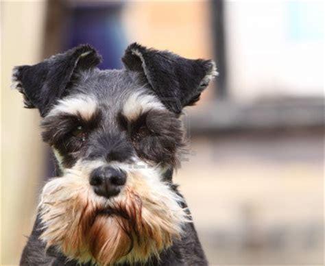 dogs 101 schnauzer σνάουζερ ρατσες σκυλων