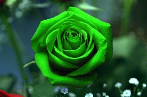 imagenes de flores verdes galer 237 a de im 225 genes rosas verdes