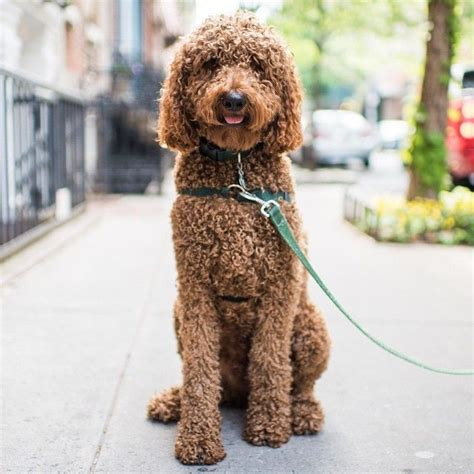 standard poodles cuts 160 best images about i m dreaming of a standard poodle