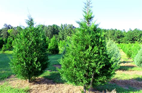 lebanon christmas tree farm family owned since 1985