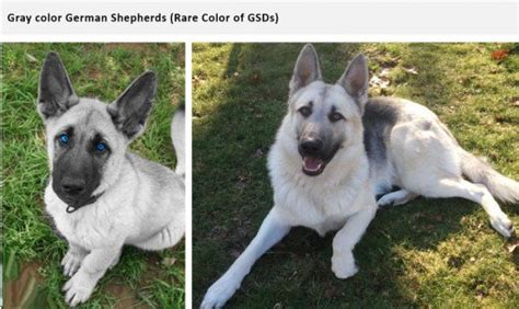 german shepherd color chart german shepherd coats and colors pethelpful
