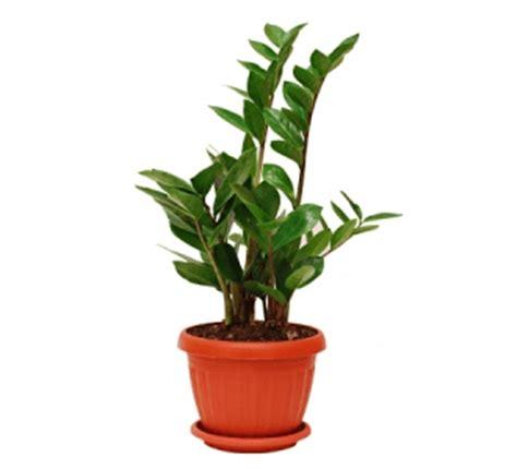 home plant zz plant zamioculcas zamiifolia description and care guide