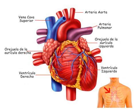 el corazn de una 1520265506 el coraz 243 n funciones ubicaci 243 n partes funcionamiento caracter 237 sticas