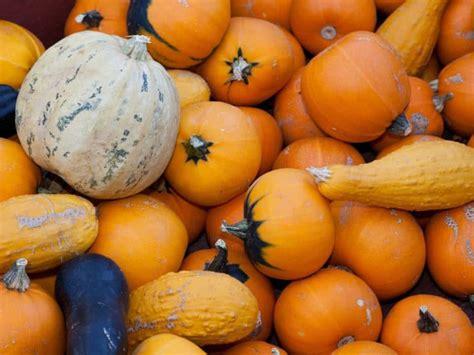 pumpkin origin a slice of pumpkin history the history of pumpkins