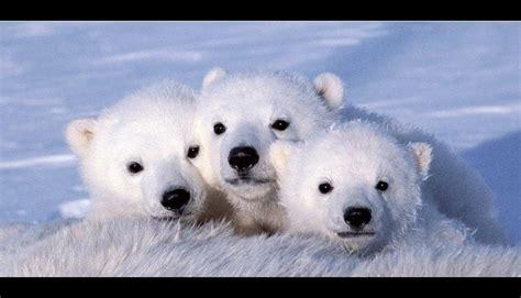 fotos de pijas de maduros osos maduros related keywords osos maduros long tail