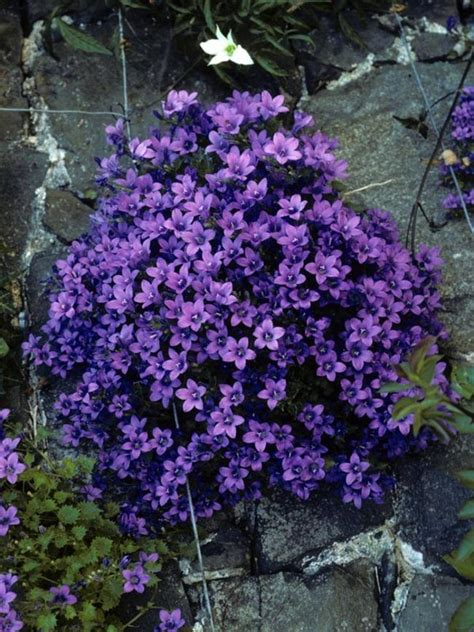 best plants for shade with lights canula portenschlagiana dalmation bellflower bellflower perennials and plants