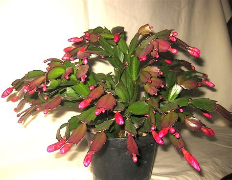 christmas plants roger brook the no dig gardener christmas cactus
