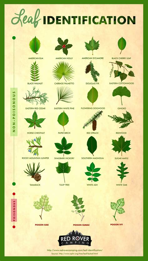 identify poison ivy leaves 27 leaves you should know how to identify red rover cing