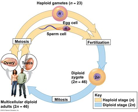 this diagram of the human cycle shows that meiosis at of studyblue