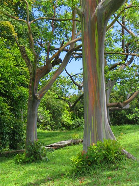 eucalyptus trees real monstrosities rainbow eucalyptus