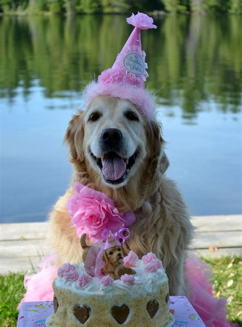 happy birthday golden retriever 12 reasons why you should never plan a golden retriever