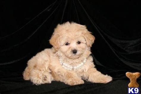 cavapoo puppies ta teacup maltipoo puppy can t wait for mine i m so excited to be getting i ve