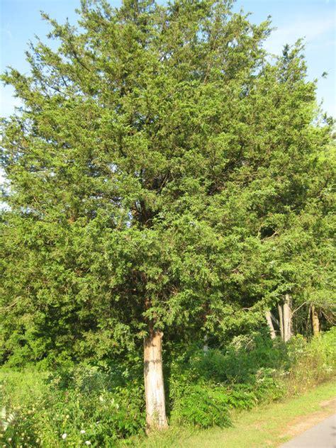trees juniper tree