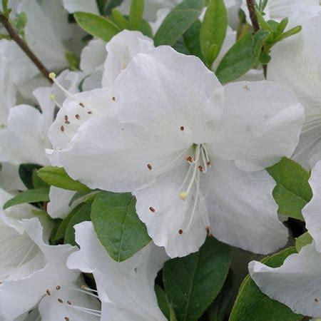 Azalea White delaware valley white azalea cold hardy azalea for sale
