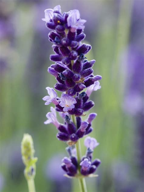 livin in the green how to make free lavender plants for