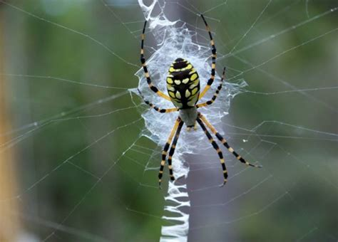 spiders with zig zag pattern on back spider with zigzag pattern in web the giant banana spiders