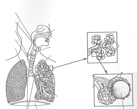 Respiratory System Coloring Page Coloring Home Respiratory System To Coloring