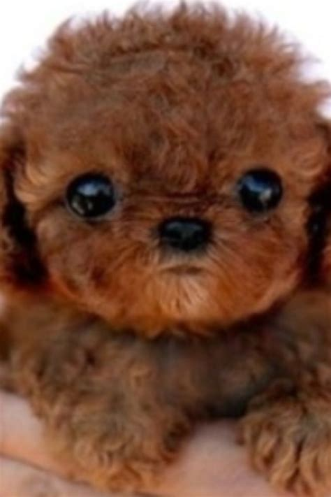 brown maltipoo puppies 17 best images about pets on poodles cocker spaniel and puppys