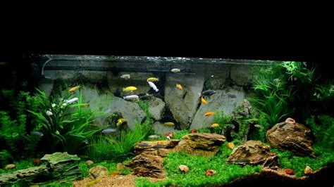 aquascape and new fish in the cichlid tank aquascaping cichlid aquarium 1000 aquarium ideas