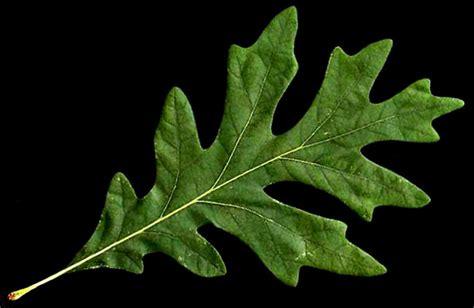 Oak Tree Identification Georgia Outdoor News Forum White Oak Leaf