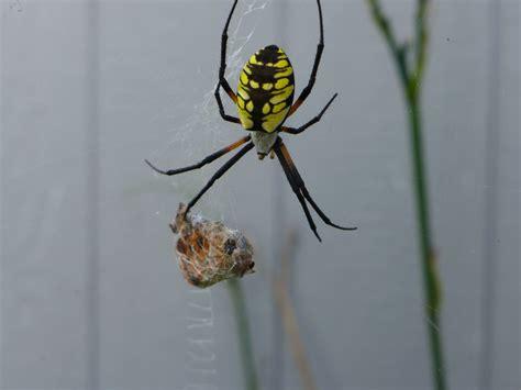 Black And Yellow Garden Spider Kill Species Spotlight Argiope Aurantia