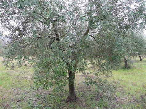 concime per olivo in vaso olivo cura olivo