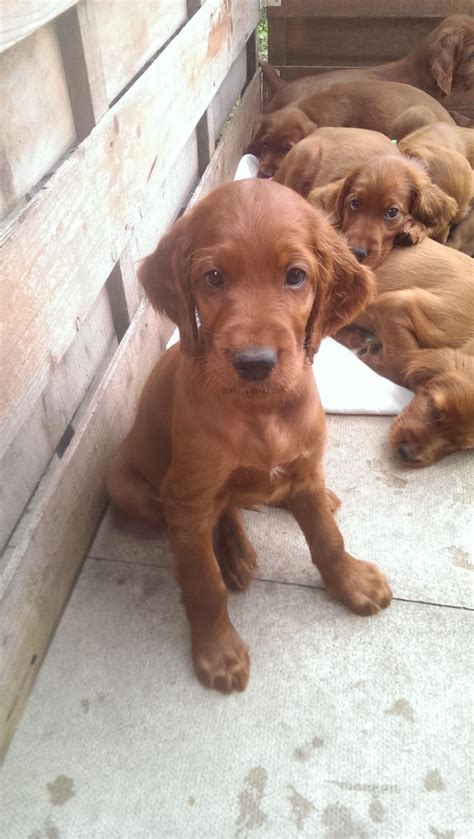 red setter dog for sale uk irish red setter puppies york north yorkshire pets4homes