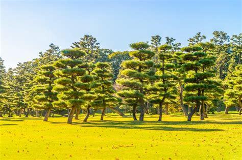 baum im garten bonsai baum im garten des kaiserpalastes in tokio stadt
