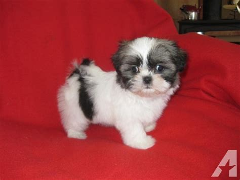 9 week shih tzu tiny akc shih tzu puppy 9 weeks for sale in phelan california