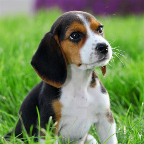 beagle puppy for sale beagle breed information and facts