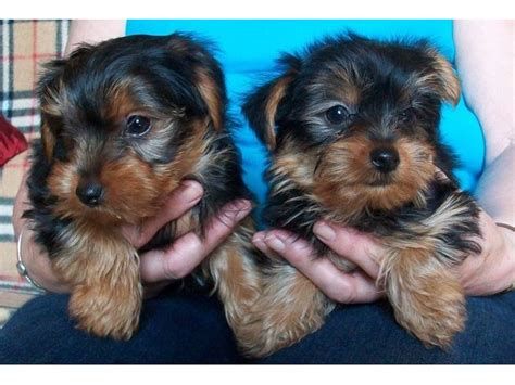 yorkie puppies for sale in albuquerque akc teacup terrier puppy for free adoption animals albuquerque new