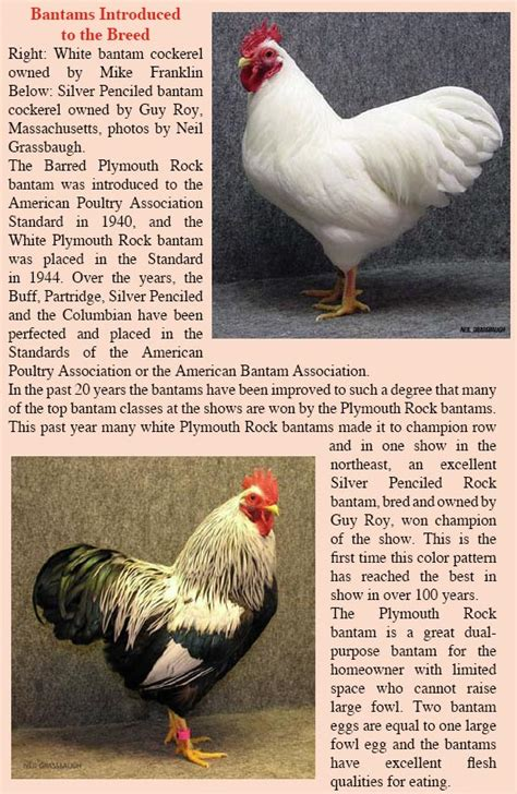 black plymouth rock plymouth barred rock chickens the original heirloom
