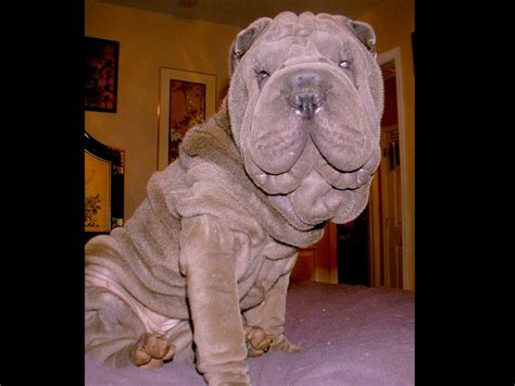 free shar pei puppies white shar pei puppies www pixshark images galleries with a bite
