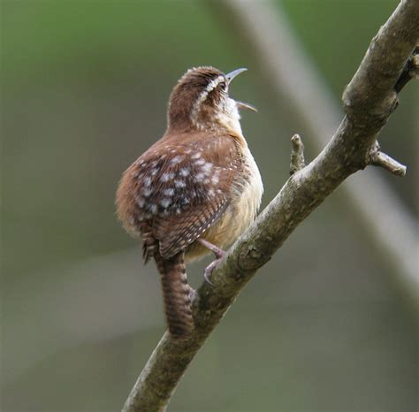 Nc Backyard Birds Carolina Wren Mystery Spots Sibley Guides