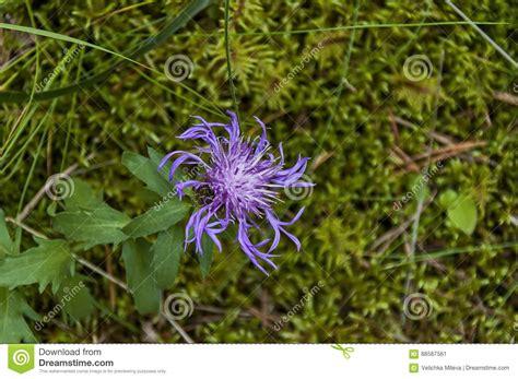 della fiore fiore di maggior della centaurea scabiosa selvaggio