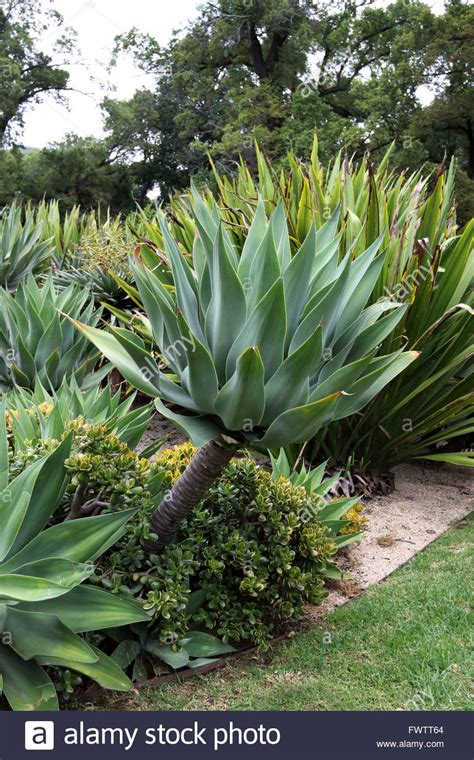 large agave attenuata nova or known as blue form agave stock photo royalty free image