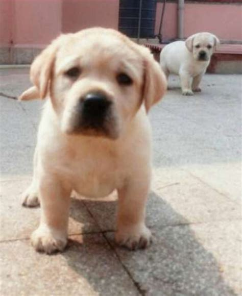 how much should a lab puppy eat how much should my labrador puppy eat onehowto pets world