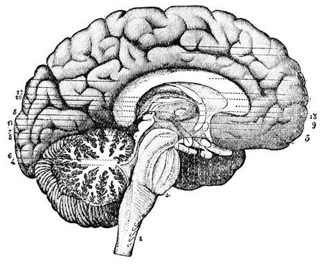 human brain longitudinal section file psm v26 d764 longitudinal section through the center