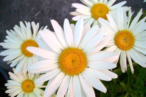 Daisy Facts | daisy facts
