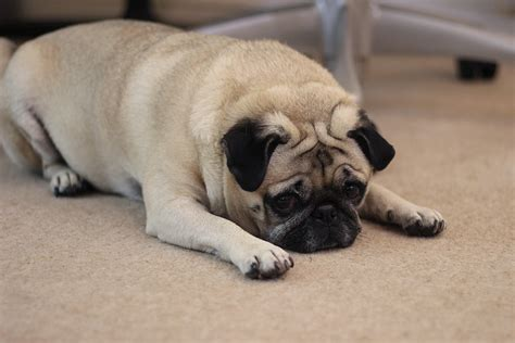 many pugs why are there so many pugs meet wednesday our mascot medialoot