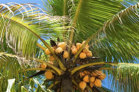 Uses Of The Coconut Palm by The Parts The Uses Of Coconut Trees Hunker