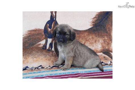 leonberger puppies price leonberger puppy for sale near carolina 10b4410c 0091