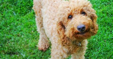 goldendoodle puppy panting talley jubilee australian labradoodle adults jubilee