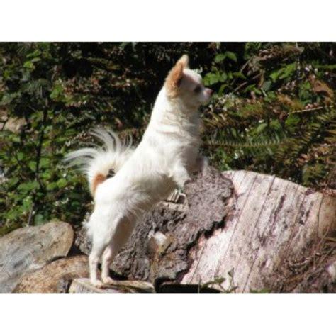 free puppies in oregon chihuahua breeders in oregon freedoglistings