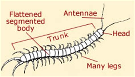 labelled diagram of a millipede pin diagram of centipede on